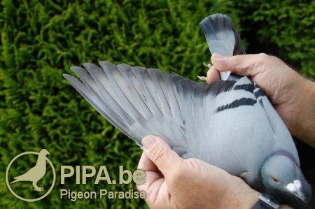 گروه تلگرامی کبوتر های مسافتی کبوتر پلاکی (Racing Pigeons)